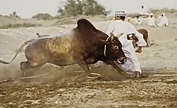 Oman_Bullfight_007.jpg