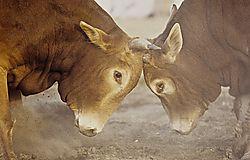 Oman_Bullfight_103.jpg