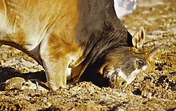Oman_Bullfight_118.jpg