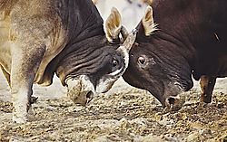 Oman_Bullfight_197.jpg