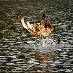 Opsrey_along_the_James_River-10.jpg