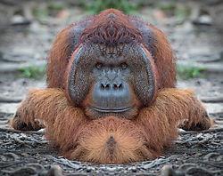 Orangatangle.jpg