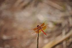 Orange_Dragon_Fly.jpg