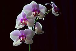 Orchids_White-1.jpg