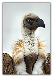 Oriental-White-Backed-Vulture-_-2.jpg