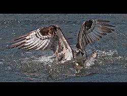 OspreyCatchingFish4a.jpg