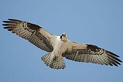 Osprey_11.jpg