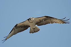Osprey_2.jpg