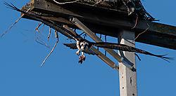 Osprey_5_Spring_2019_033019-1.JPG