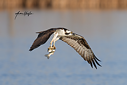 Osprey_850_7289_04-06-2020_with_fish_2.png