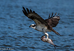 Osprey_Fishing-13.jpg