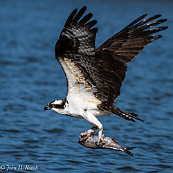 Osprey_Fishing-14.jpg
