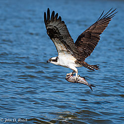 Osprey_Fishing-17.jpg