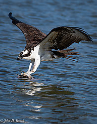 Osprey_Fishing-4.jpg