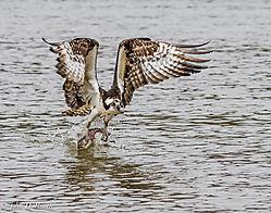Osprey_Fishing-James_River-3.jpg
