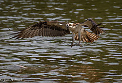 Osprey_Fishing_Sequence-1.jpg