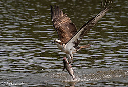 Osprey_Fishing_Sequence-10.jpg
