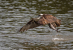 Osprey_Fishing_Sequence-11.jpg