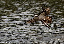 Osprey_Fishing_Sequence-13.jpg