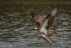Osprey_Fishing_Sequence-15.jpg