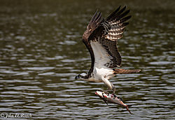 Osprey_Fishing_Sequence-17.jpg