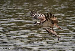 Osprey_Fishing_Sequence-18.jpg
