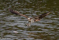 Osprey_Fishing_Sequence-2.jpg