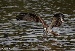 Osprey_Fishing_Sequence-3.jpg
