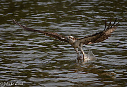 Osprey_Fishing_Sequence-4.jpg