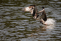 Osprey_Fishing_Sequence-5.jpg