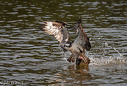 Osprey_Fishing_Sequence-7.jpg