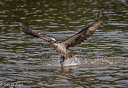 Osprey_Fishing_Sequence-8.jpg