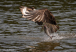 Osprey_Fishing_Sequence-9.jpg