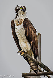 Osprey_Hanging_Out_on_the_James_River-1.jpg