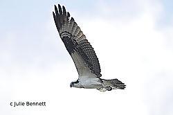 Osprey_In_Flight4.jpg