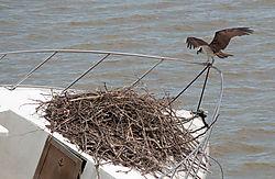 Osprey_Landing1.jpg