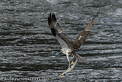 Osprey_Missoula_1.jpg