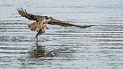 Osprey_along_the_James_River-26.jpg