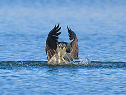 Osprey_emerging_with_fish_462020_2.jpg