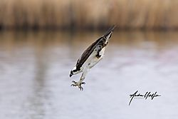 Osprey_entering_the_water_41820-1.jpg