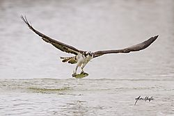 Osprey_entering_the_water_41820_fish-1.jpg