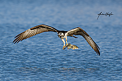 Osprey_fishing_850_7287_04-06-2020_.png