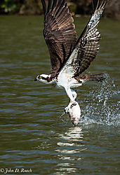 Osprey_in_Action-17.jpg