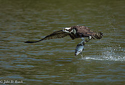 Osprey_in_Action-18.jpg