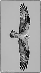 Osprey_in_Action-6.jpg