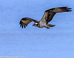 Osprey_in_Flight2.jpg