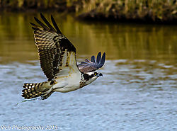 Osprey_in_Flight_2.jpg