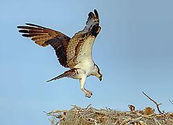 Osprey_nest.jpg