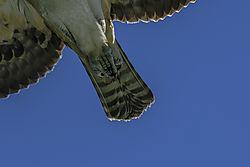 Osprey_talon_in_flight.jpg