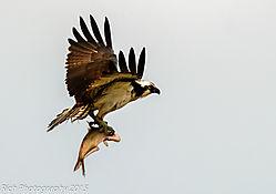 Osprey_w_Fish.jpg